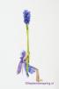 13 Lavendelschommel DSC01050