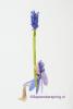 5 Lavendelschommel DSC01044